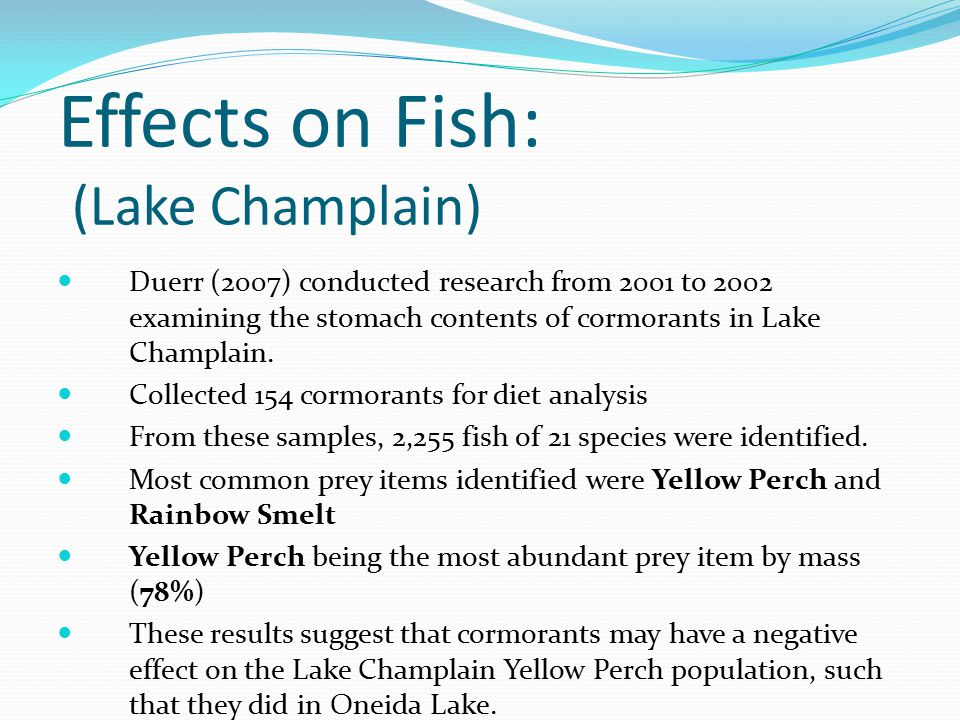 Effects on Fish: (Lake Champlain) Duerr (2007) conducted research from 2001 to 2002 examining the stomach contents of cormorants in Lake Champlain. Co