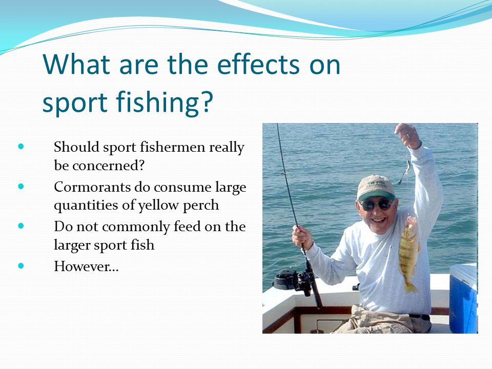 What are the effects on sport fishing? Should sport fishermen really be concerned? Cormorants do consume large quantities of yellow perch Do not commo