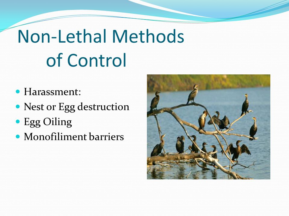 Non-Lethal Methods of Control Harassment: Nest or Egg destruction Egg Oiling Monofiliment barriers