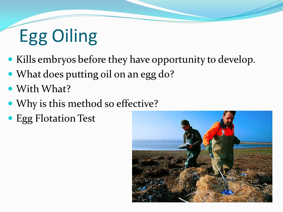 Egg Oiling Kills embryos before they have opportunity to develop. What does putting oil on an egg do? With What? Why is this method so effective? Egg