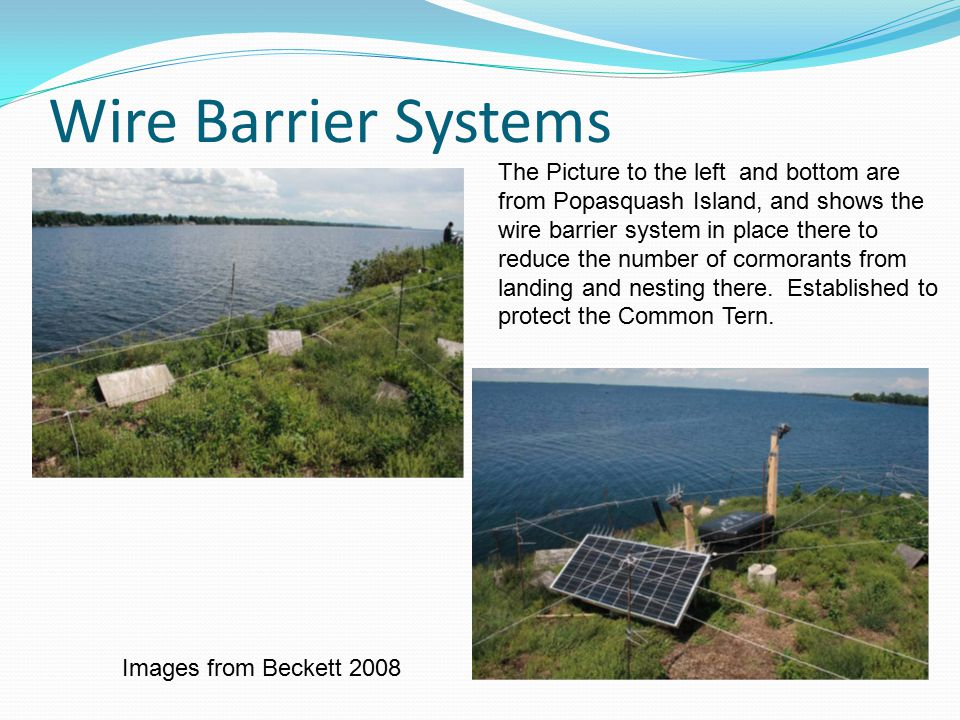 Wire Barrier Systems The Picture to the left and bottom are from Popasquash Island, and shows the wire barrier system in place there to reduce the number of cormorants from landing and nesting there.