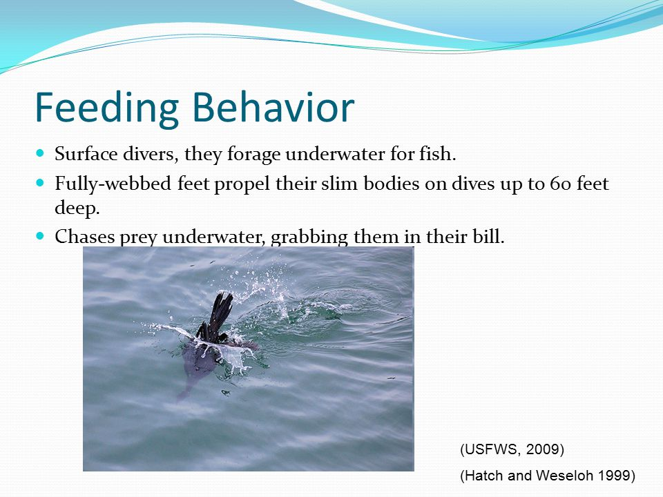 Feeding Behavior Surface divers, they forage underwater for fish.