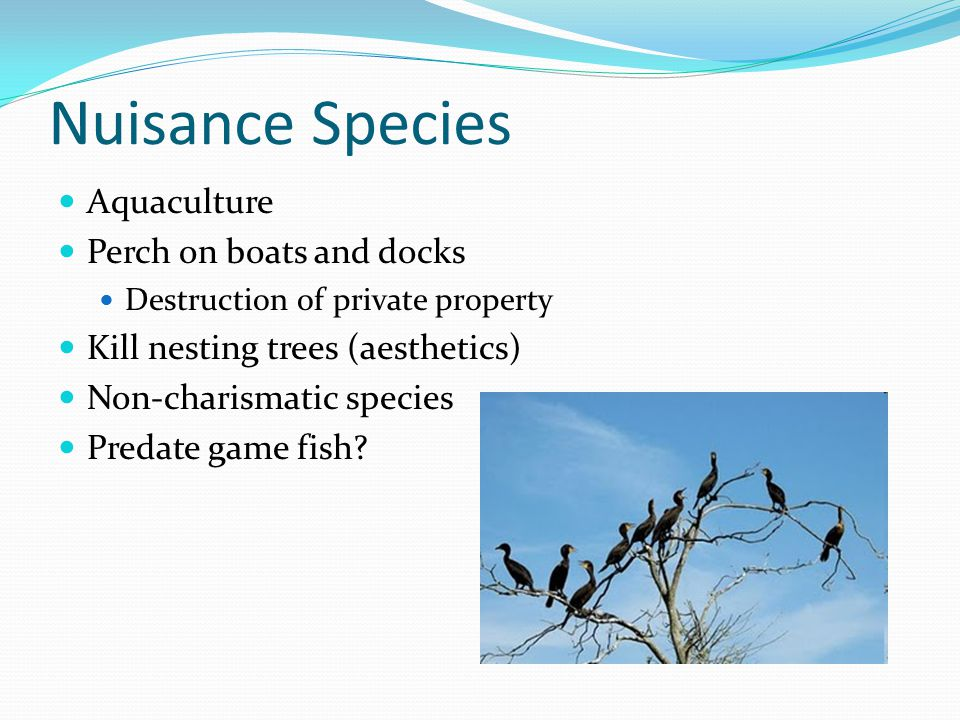 Nuisance Species Aquaculture Perch on boats and docks Destruction of private property Kill nesting trees (aesthetics) Non-charismatic species Predate game fish?