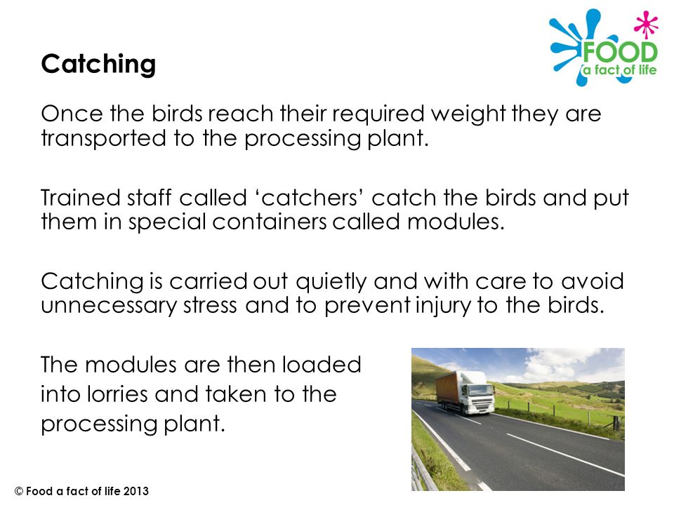 Catching Once the birds reach their required weight they are transported to the processing plant.