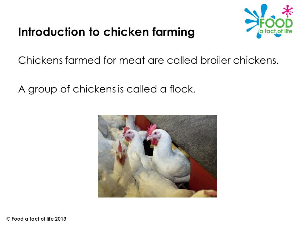 Breeder farm Eggs are laid by broiler hens (parent flock).