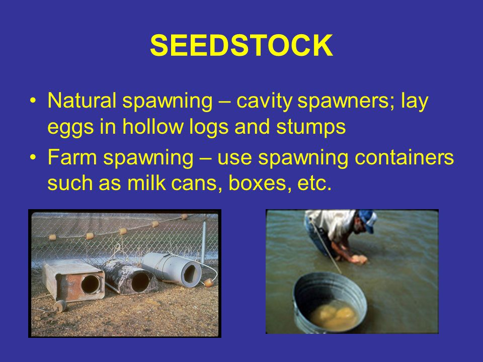 SEEDSTOCK Natural spawning – cavity spawners; lay eggs in hollow logs and stumps Farm spawning – use spawning containers such as milk cans, boxes, etc.