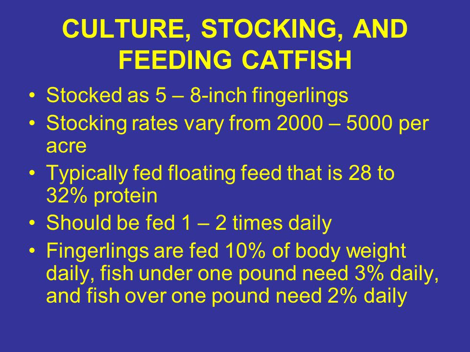CULTURE, STOCKING, AND FEEDING CATFISH Stocked as 5 – 8-inch fingerlings Stocking rates vary from 2000 – 5000 per acre Typically fed floating feed that is 28 to 32% protein Should be fed 1 – 2 times daily Fingerlings are fed 10% of body weight daily, fish under one pound need 3% daily, and fish over one pound need 2% daily