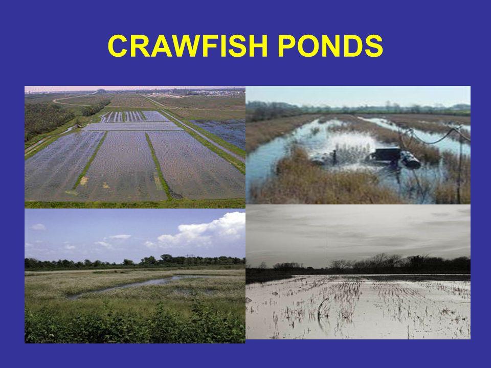 CRAWFISH PONDS