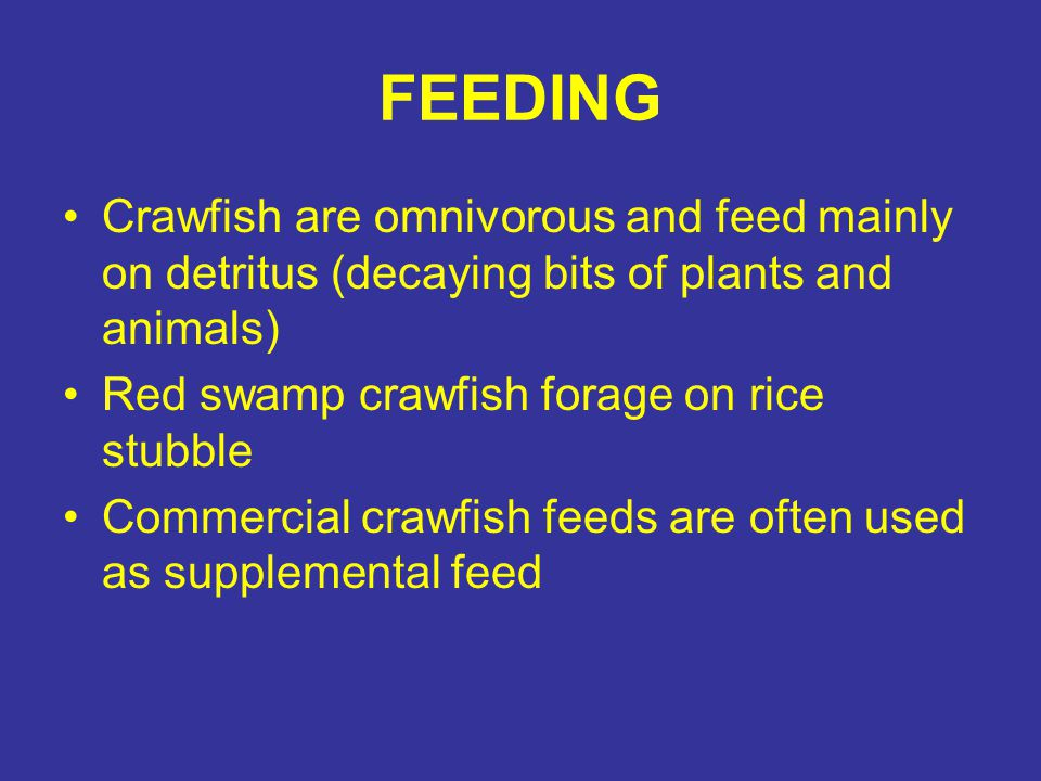 FEEDING Crawfish are omnivorous and feed mainly on detritus (decaying bits of plants and animals) Red swamp crawfish forage on rice stubble Commercial
