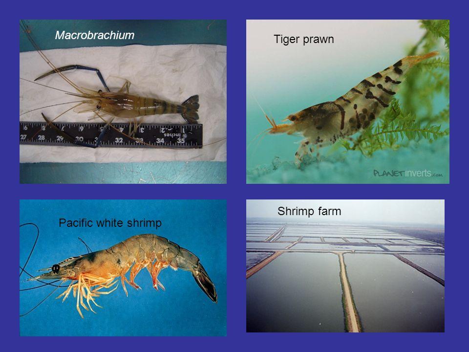 Macrobrachium Tiger prawn Pacific white shrimp Shrimp farm