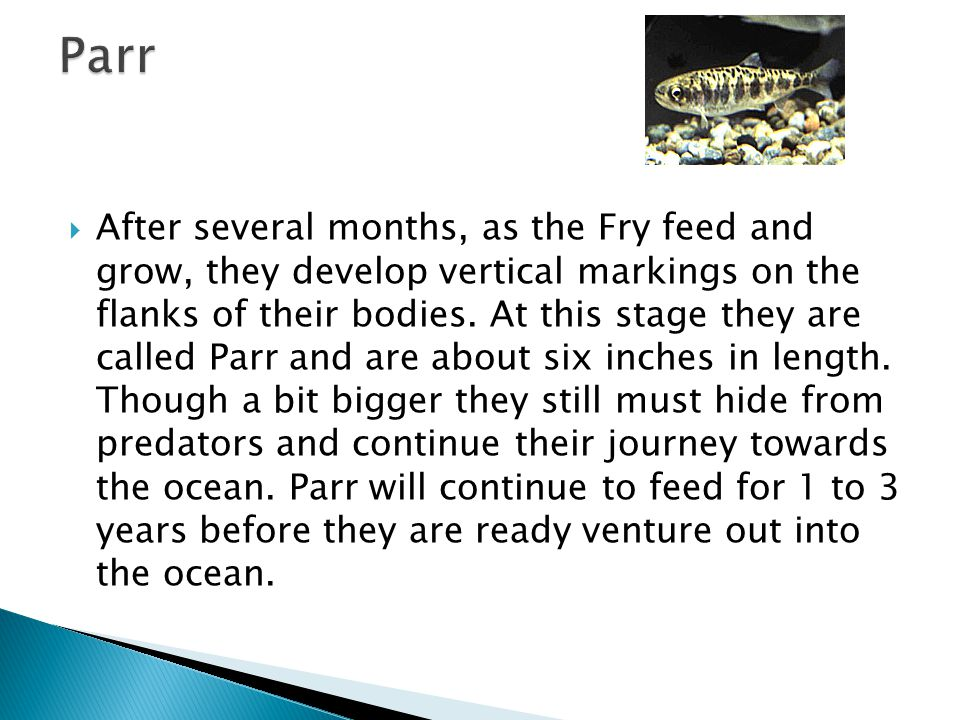 After several months, as the Fry feed and grow, they develop vertical markings on the flanks of their bodies.