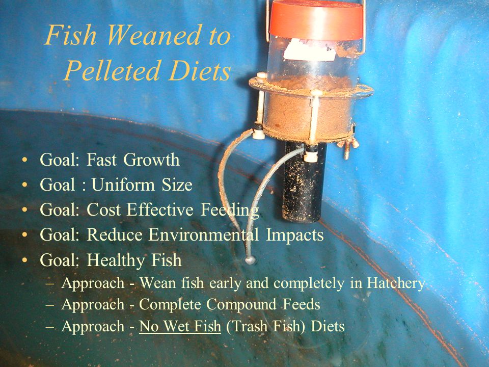 Fish Weaned to Pelleted Diets Goal: Fast Growth Goal : Uniform Size Goal: Cost Effective Feeding Goal: Reduce Environmental Impacts Goal: Healthy Fish –Approach - Wean fish early and completely in Hatchery –Approach - Complete Compound Feeds –Approach - No Wet Fish (Trash Fish) Diets