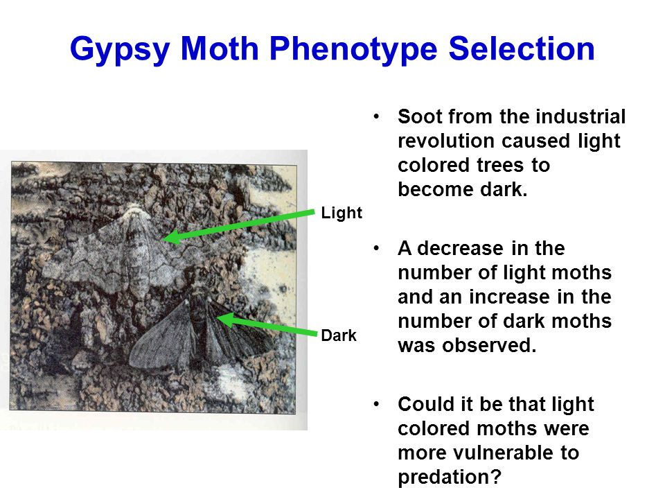Gypsy Moth Phenotype Selection Light Dark Soot from the industrial revolution caused light colored trees to become dark. A decrease in the number of l
