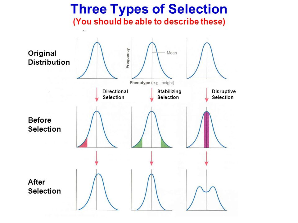 Three Types of Selection (You should be able to describe these) Original Distribution Before Selection After Selection Directional Selection Stabilizi