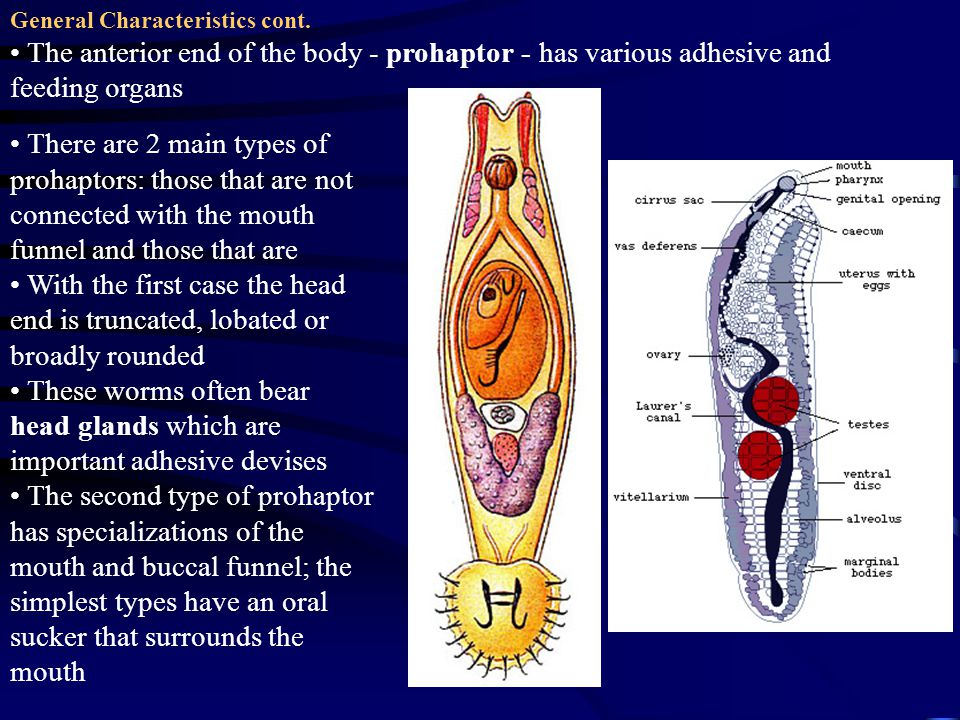 There are 2 main types of prohaptors: those that are not connected with the mouth funnel and those that are With the first case the head end is truncated, lobated or broadly rounded These worms often bear head glands which are important adhesive devises The second type of prohaptor has specializations of the mouth and buccal funnel; the simplest types have an oral sucker that surrounds the mouth General Characteristics cont.