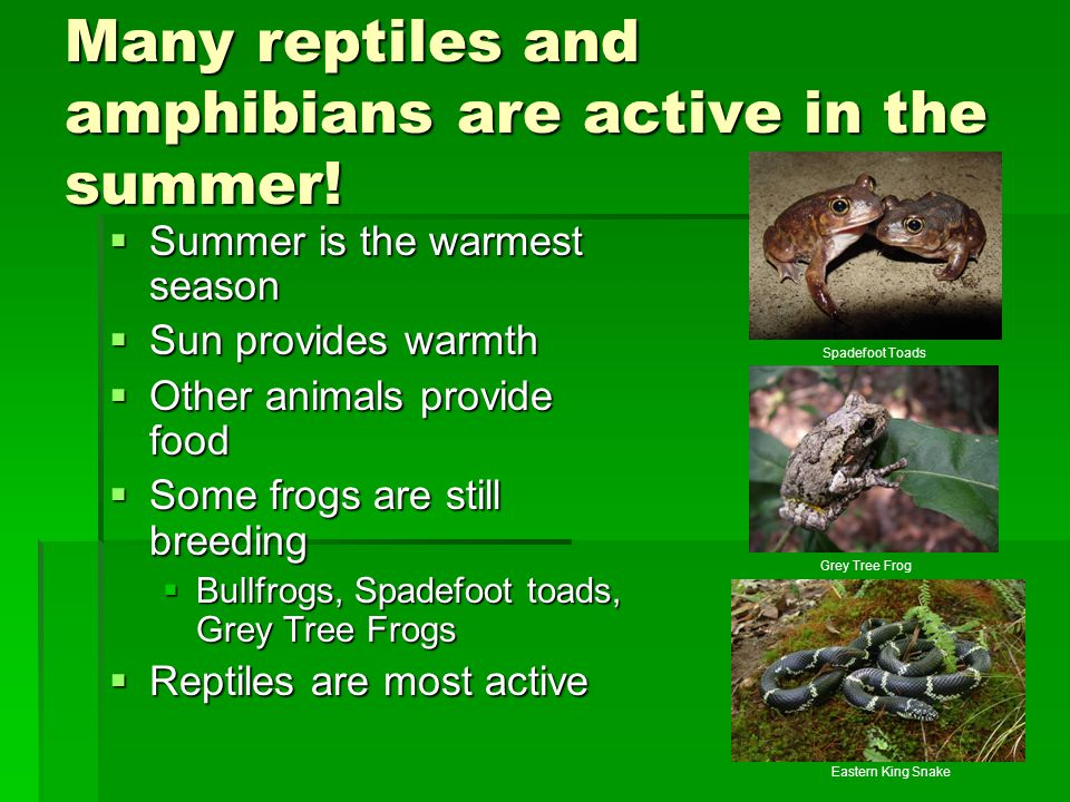 Many reptiles and amphibians are active in the summer!  Summer is the warmest season  Sun provides warmth  Other animals provide food  Some frogs