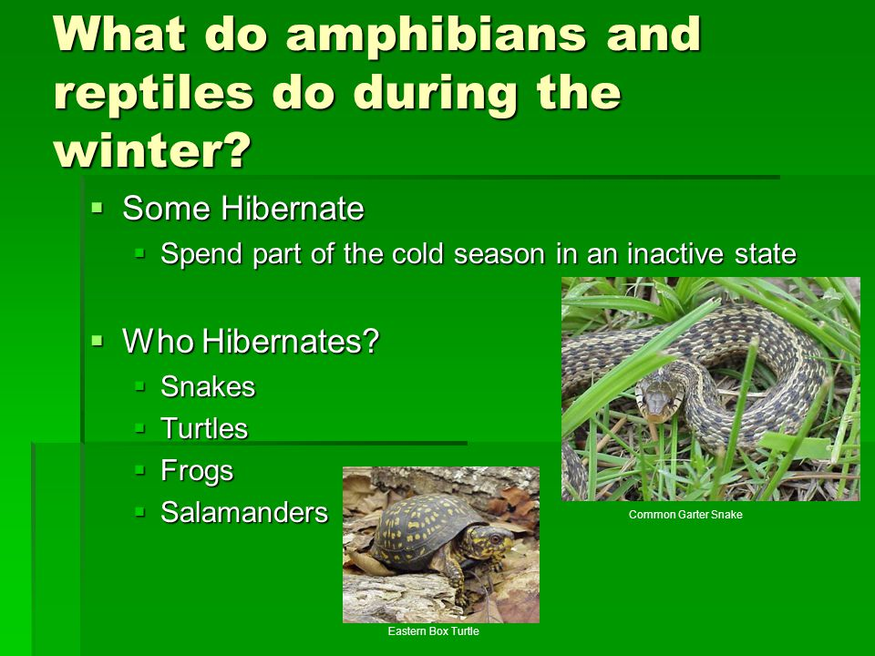 What do amphibians and reptiles do during the winter?  Some Hibernate  Spend part of the cold season in an inactive state  Who Hibernates?  Snakes