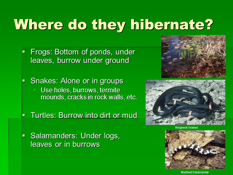 Where do they hibernate?  Frogs: Bottom of ponds, under leaves, burrow under ground  Snakes: Alone or in groups  Use holes, burrows, termite mounds