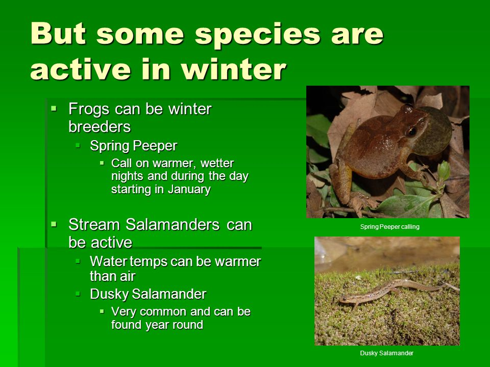 But some species are active in winter  Frogs can be winter breeders  Spring Peeper  Call on warmer, wetter nights and during the day starting in Ja