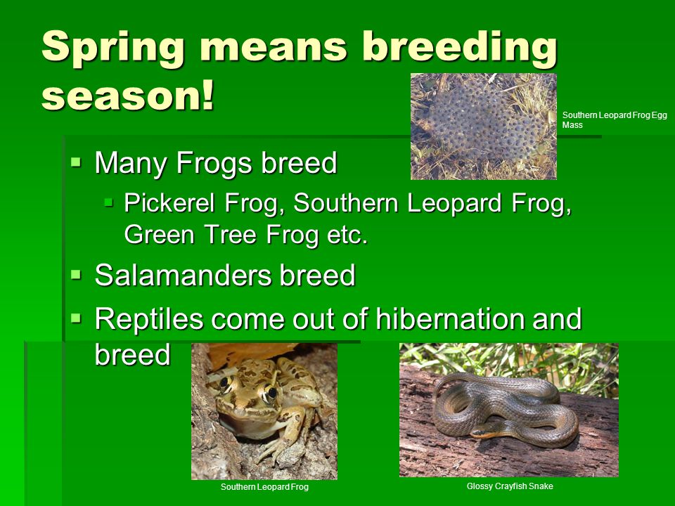 Spring means breeding season!  Many Frogs breed  Pickerel Frog, Southern Leopard Frog, Green Tree Frog etc.  Salamanders breed  Reptiles come out