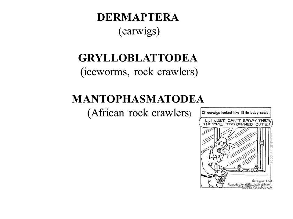 DERMAPTERA (earwigs) GRYLLOBLATTODEA (iceworms, rock crawlers) MANTOPHASMATODEA (African rock crawlers )