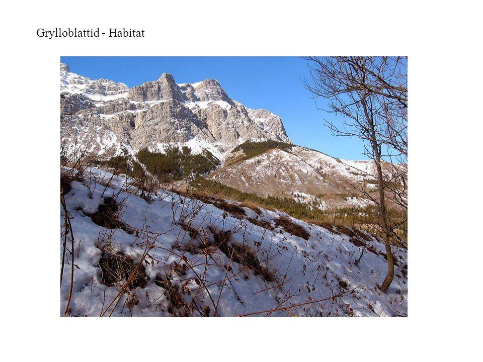 Grylloblattid - Habitat