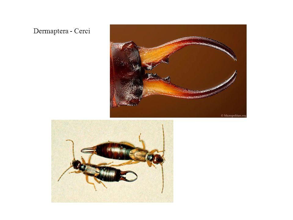 Dermaptera - Cerci