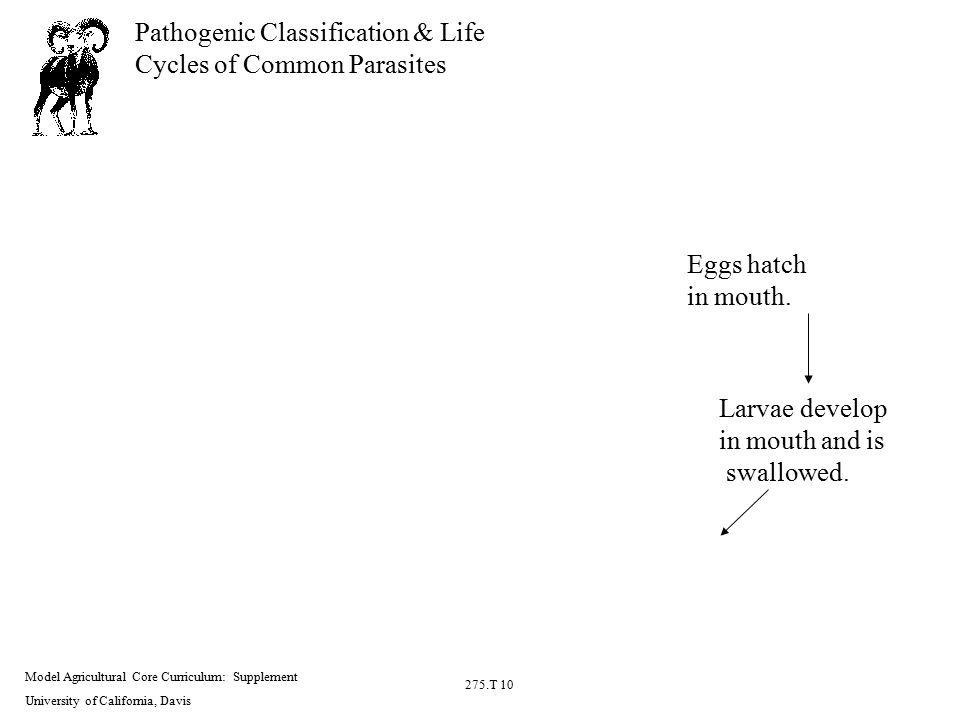 Model Agricultural Core Curriculum: Supplement University of California, Davis 275.T 10 Pathogenic Classification & Life Cycles of Common Parasites Eggs hatch in mouth.
