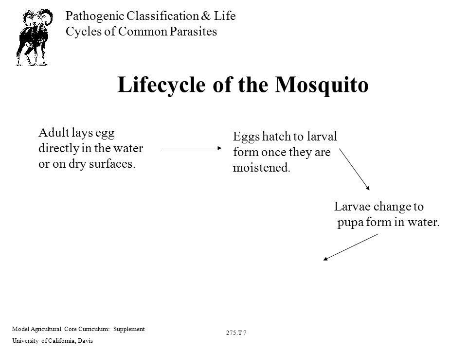 Model Agricultural Core Curriculum: Supplement University of California, Davis 275.T 7 Pathogenic Classification & Life Cycles of Common Parasites Lifecycle of the Mosquito Adult lays egg directly in the water or on dry surfaces.