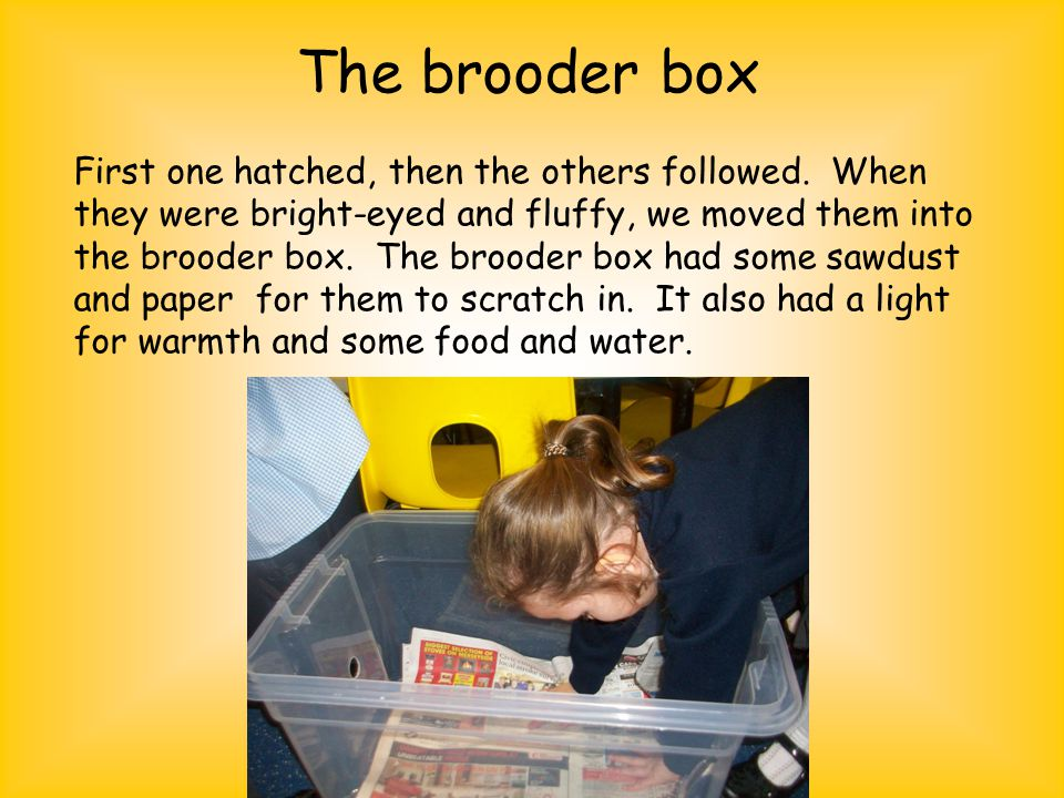 The brooder box First one hatched, then the others followed.