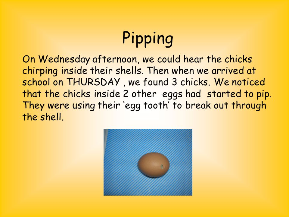 Pipping On Wednesday afternoon, we could hear the chicks chirping inside their shells.