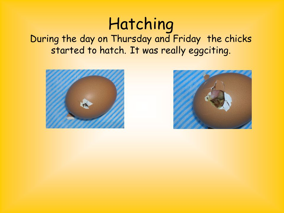 Hatching During the day on Thursday and Friday the chicks started to hatch.