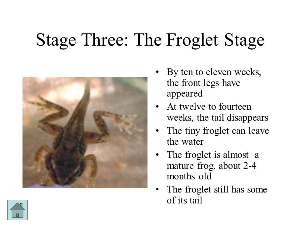 Stage Two: The Tadpole Stage A tadpole wriggles out of each egg At first, the tadpole breathes and moves like a fish The tadpole has gills and a long