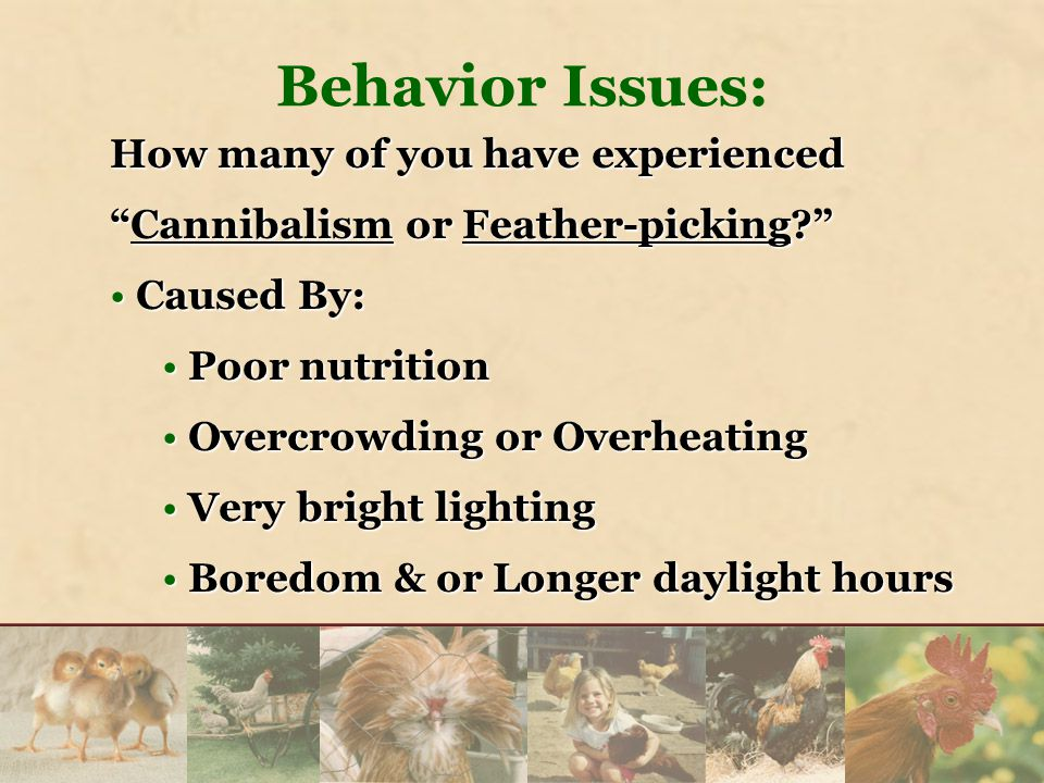 How many of you have experienced Cannibalism or Feather-picking? Caused By:Caused By: Poor nutritionPoor nutrition Overcrowding or OverheatingOvercrowding or Overheating Very bright lightingVery bright lighting Boredom & or Longer daylight hoursBoredom & or Longer daylight hours Behavior Issues: