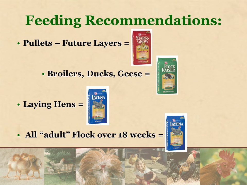Feeding Recommendations: Pullets – Future Layers =Pullets – Future Layers = Broilers, Ducks, Geese = Broilers, Ducks, Geese = Laying Hens =Laying Hens