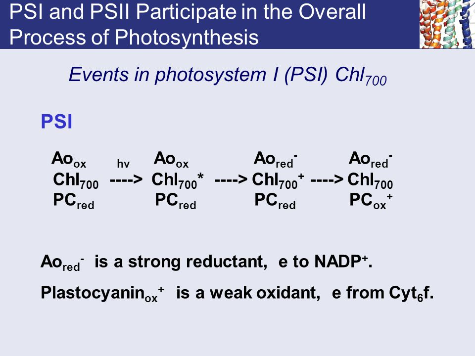 PSI and PSII Participate in the Overall Process of Photosynthesis Events in photosystem I (PSI) Chl 700 PSI Ao ox hv Ao ox Ao red - Ao red - Chl 700 -