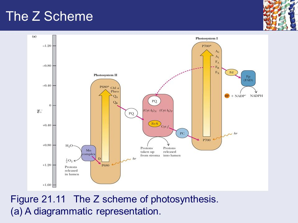 The Z Scheme Figure 21.11 The Z scheme of photosynthesis. (a) A diagrammatic representation.