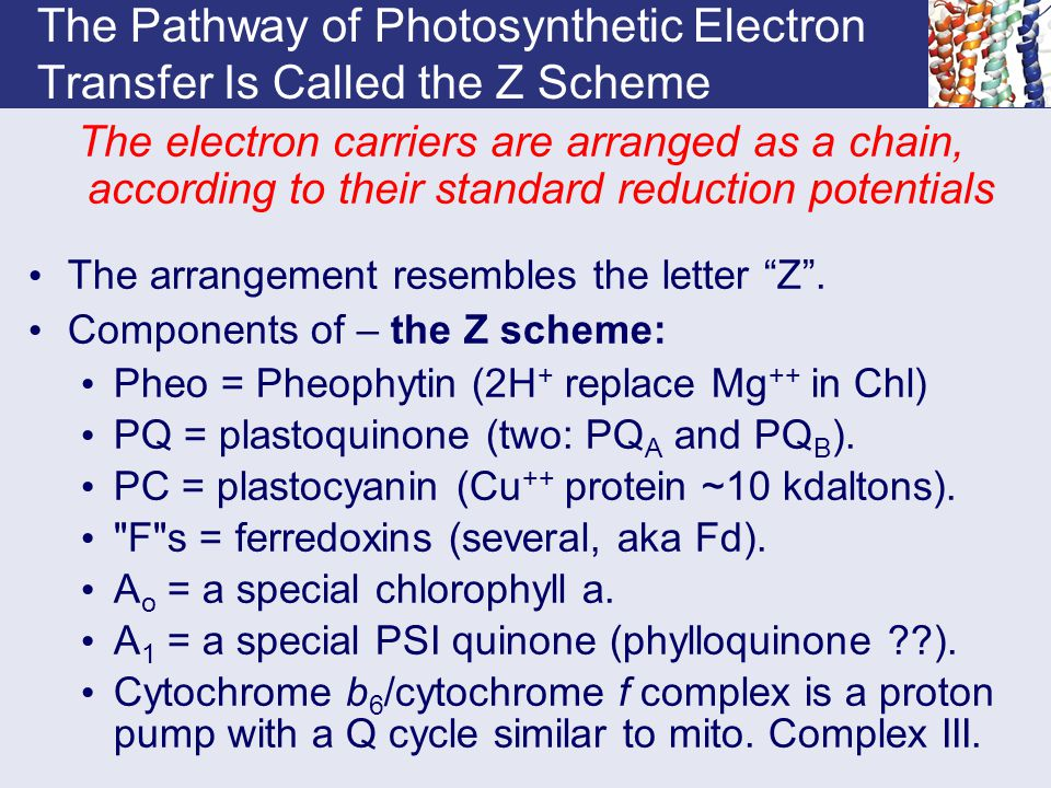 The Pathway of Photosynthetic Electron Transfer Is Called the Z Scheme The electron carriers are arranged as a chain, according to their standard redu