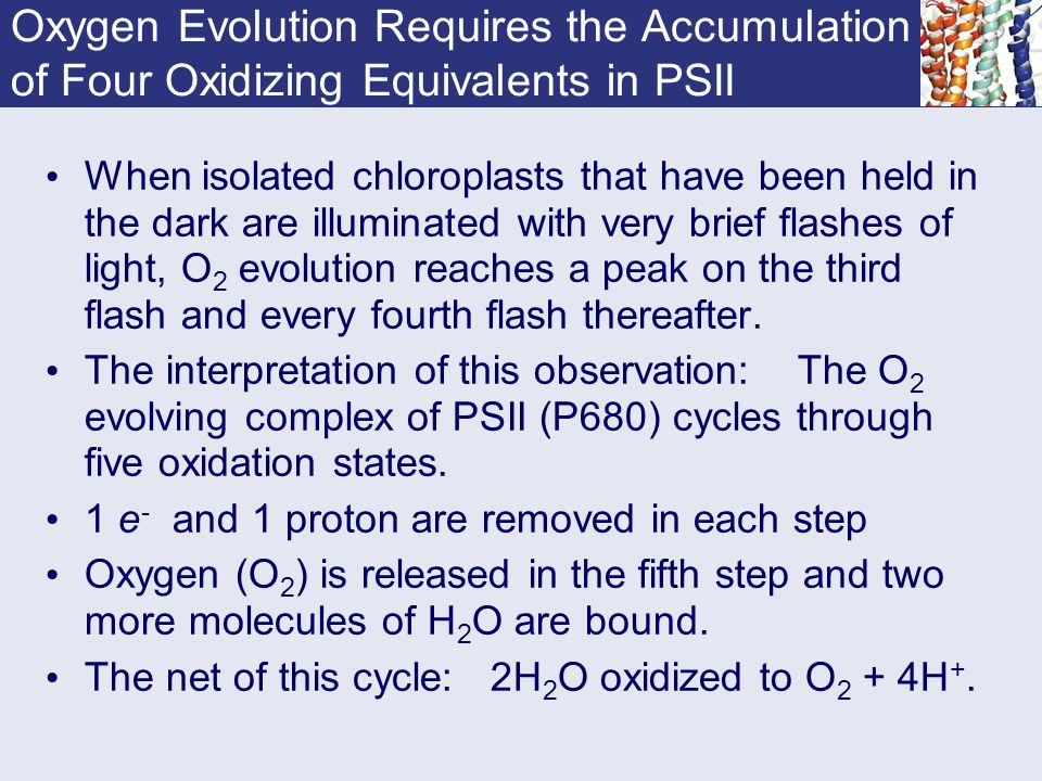 Oxygen Evolution Requires the Accumulation of Four Oxidizing Equivalents in PSII When isolated chloroplasts that have been held in the dark are illumi