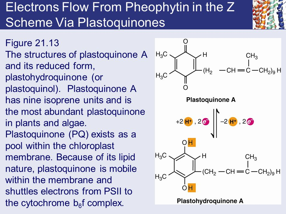Electrons Flow From Pheophytin in the Z Scheme Via Plastoquinones Figure 21.13 The structures of plastoquinone A and its reduced form, plastohydroquin