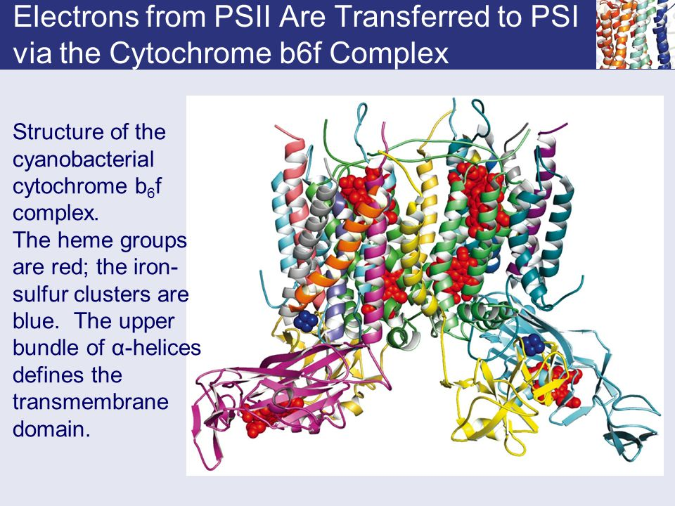 Electrons from PSII Are Transferred to PSI via the Cytochrome b6f Complex Structure of the cyanobacterial cytochrome b 6 f complex. The heme groups ar