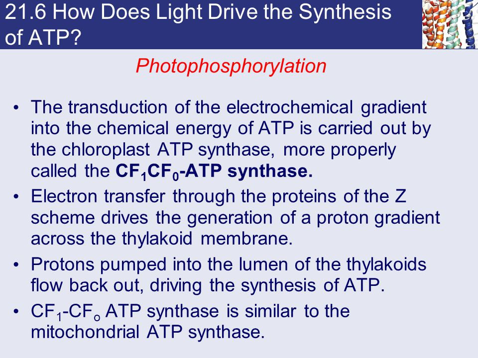 21.6 How Does Light Drive the Synthesis of ATP? Photophosphorylation The transduction of the electrochemical gradient into the chemical energy of ATP