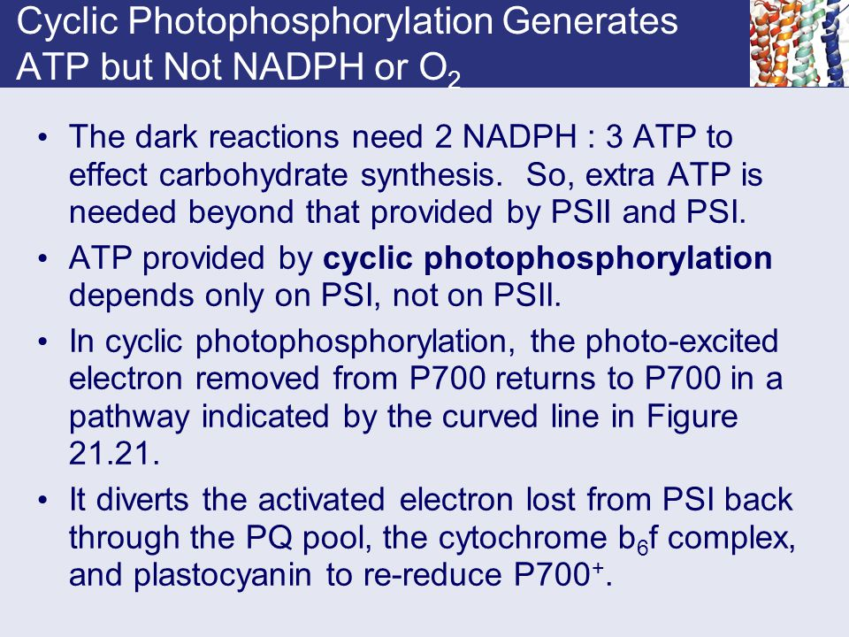 Cyclic Photophosphorylation Generates ATP but Not NADPH or O 2 The dark reactions need 2 NADPH : 3 ATP to effect carbohydrate synthesis. So, extra ATP