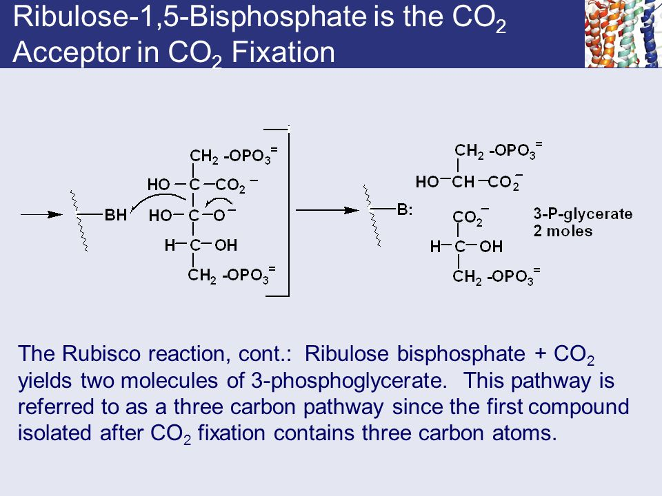 Ribulose-1,5-Bisphosphate is the CO 2 Acceptor in CO 2 Fixation The Rubisco reaction, cont.: Ribulose bisphosphate + CO 2 yields two molecules of 3-ph