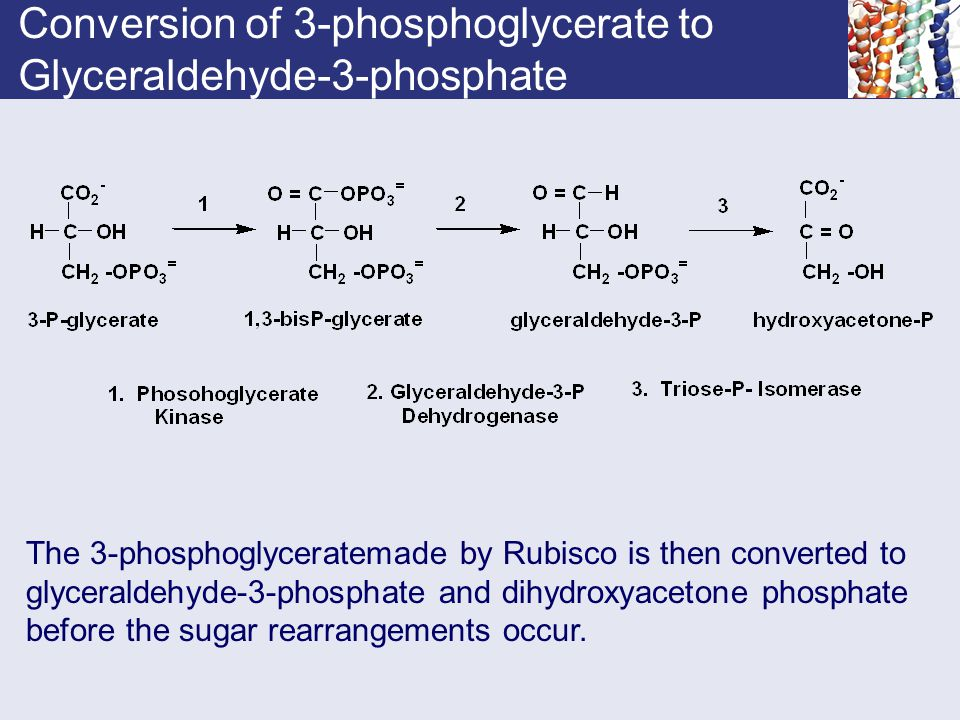 Conversion of 3-phosphoglycerate to Glyceraldehyde-3-phosphate The 3-phosphoglyceratemade by Rubisco is then converted to glyceraldehyde-3-phosphate a