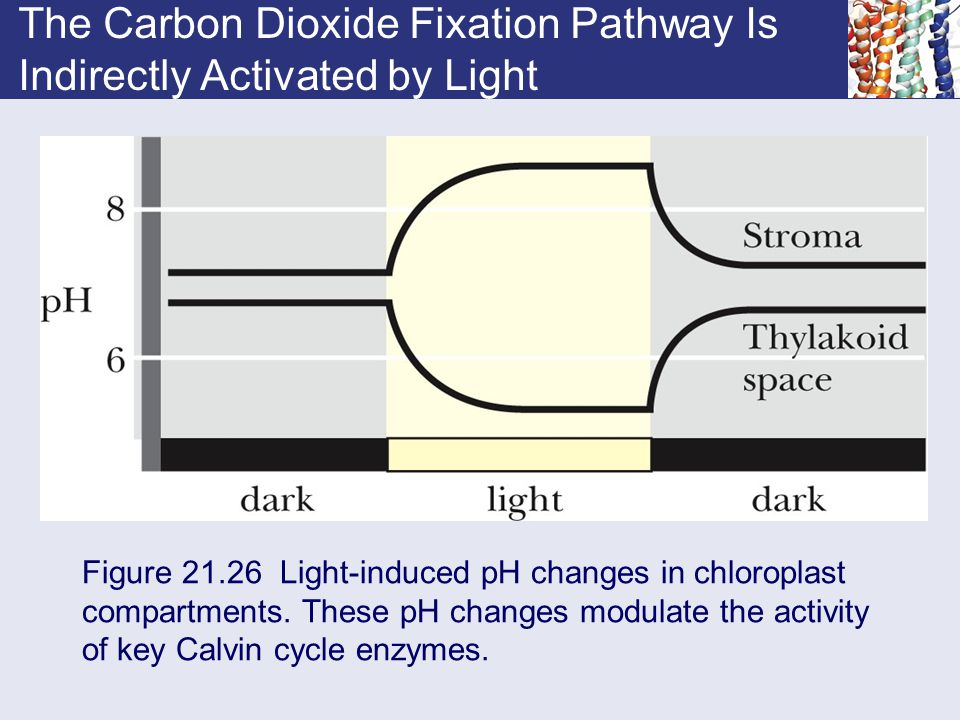 The Carbon Dioxide Fixation Pathway Is Indirectly Activated by Light Figure 21.26 Light-induced pH changes in chloroplast compartments. These pH chang