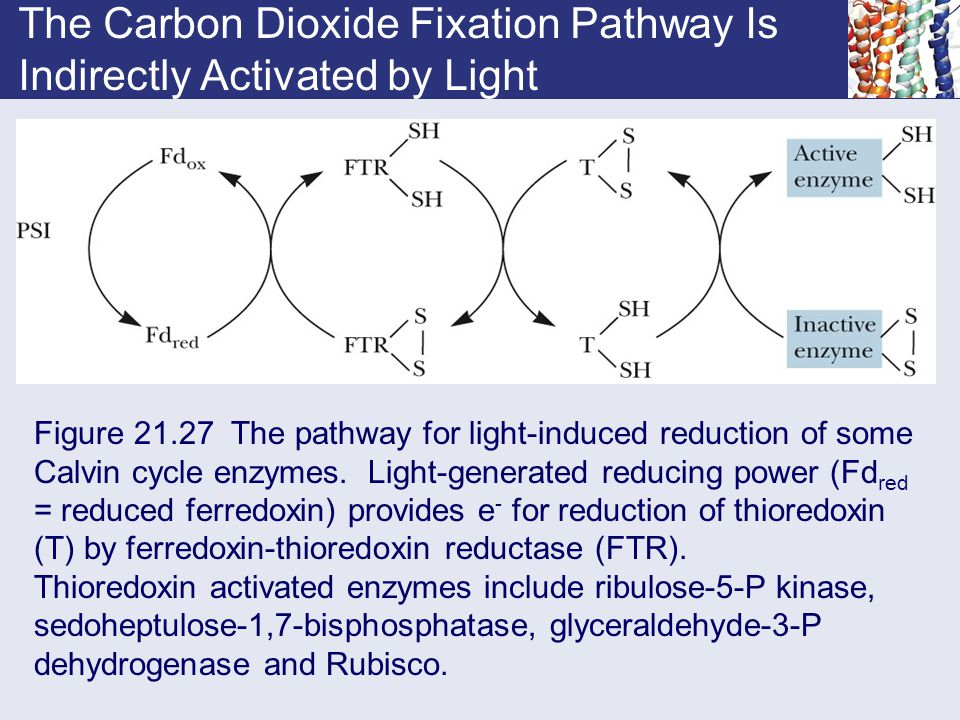 The Carbon Dioxide Fixation Pathway Is Indirectly Activated by Light Figure 21.27 The pathway for light-induced reduction of some Calvin cycle enzymes