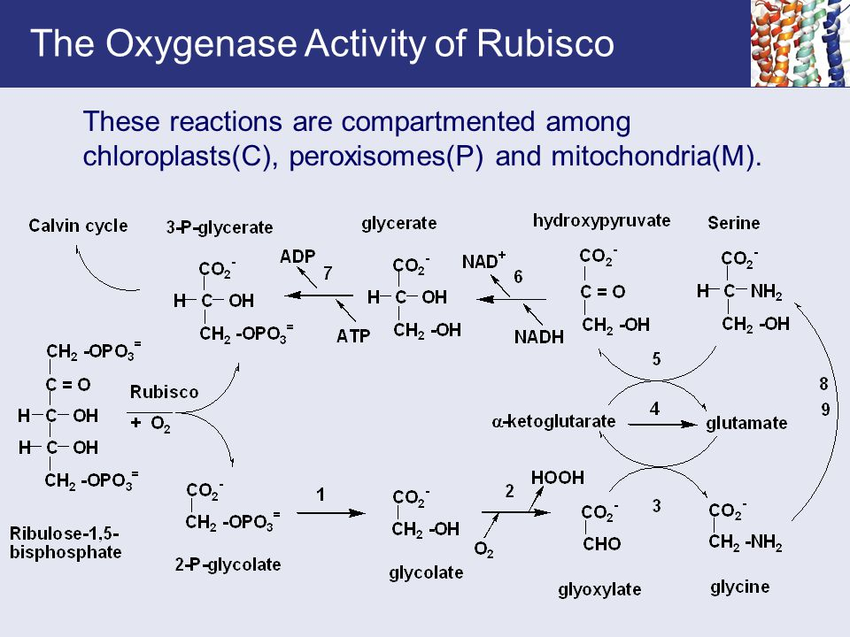 The Oxygenase Activity of Rubisco These reactions are compartmented among chloroplasts(C), peroxisomes(P) and mitochondria(M).