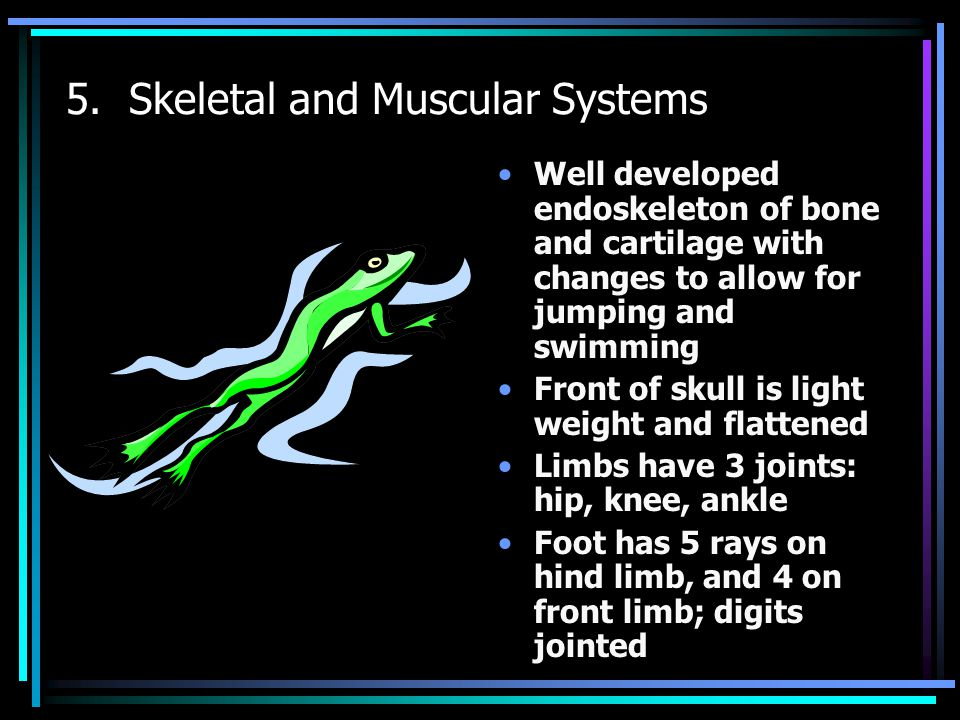 5. Skeletal and Muscular Systems Well developed endoskeleton of bone and cartilage with changes to allow for jumping and swimming Front of skull is li