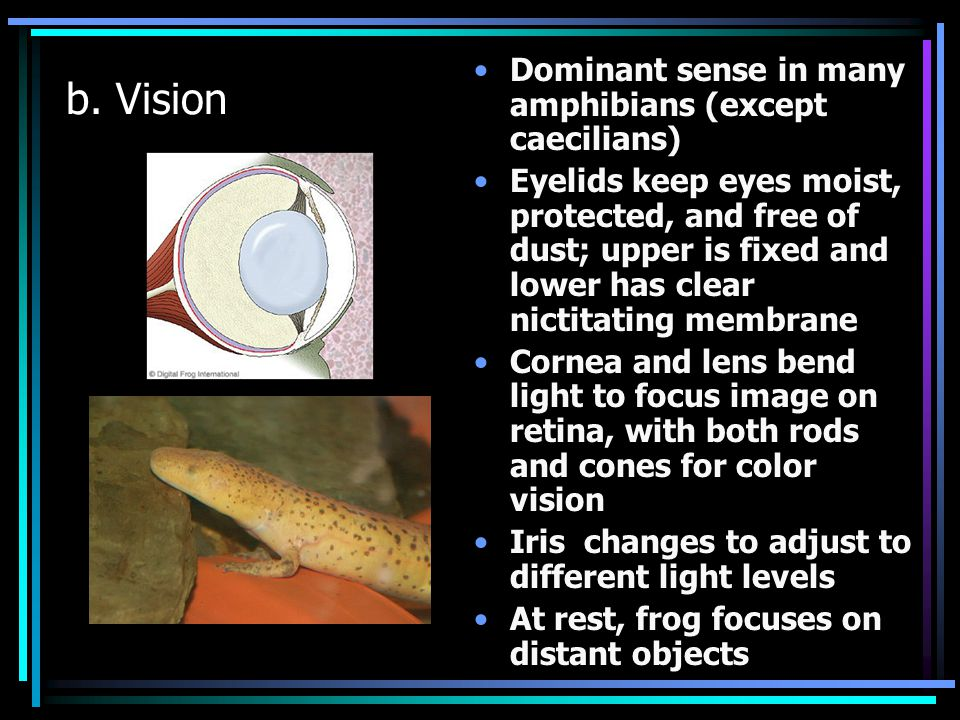 b. Vision Dominant sense in many amphibians (except caecilians) Eyelids keep eyes moist, protected, and free of dust; upper is fixed and lower has cle